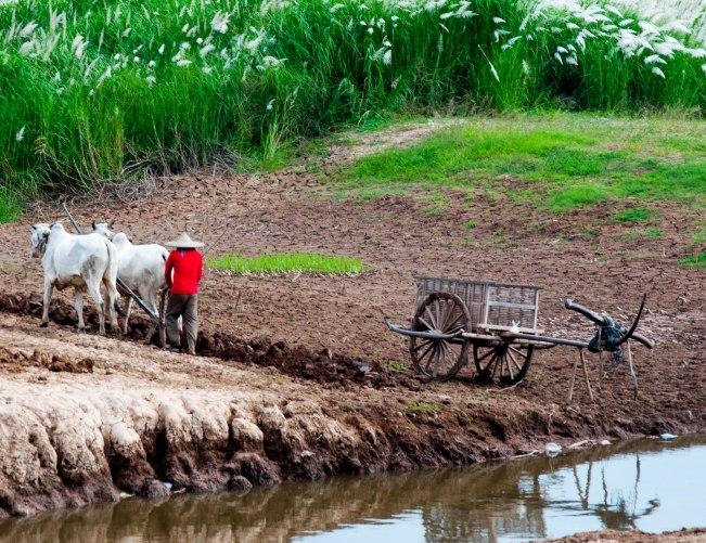 Ploughing, Prek ambel, Kandal Province, Cambodia