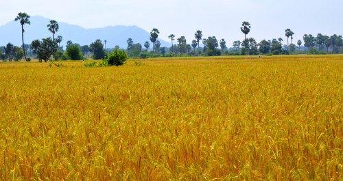 Rice fields, Kiri Rom, Cambodia