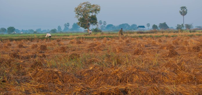 Freshly cut paddy field, Battambang, Cambodia. Battambang rice is considered the best by many Cambodians.