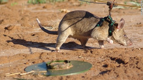 140924173754-apopo-land-mine-rat-horizontal-gallery