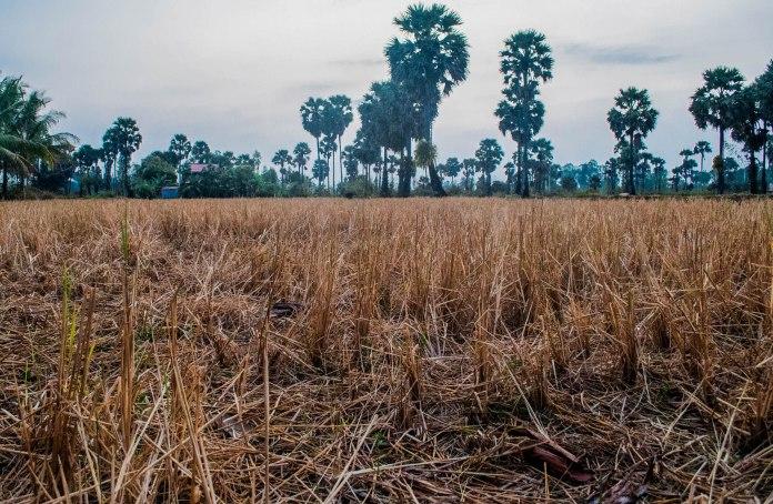 Kampot rice field