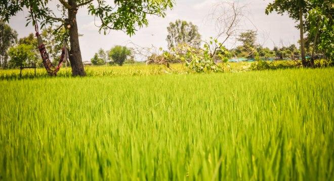 Rice Field, Kein Svay, Kandal  province, Cambodia